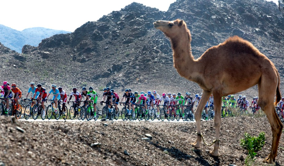A camel watches on at the 2015 Dubai Tour (RCS)
